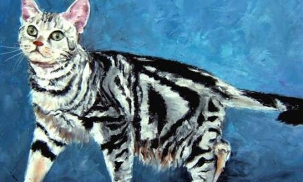 AMERICAN SHORTHAIR . huile couteau