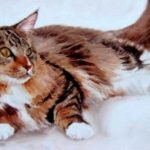 MAINE COON . huile couteau